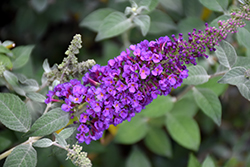 Miss Violet Butterfly Bush (Buddleia 'Miss Violet') at Green Acre Farm & Nursery