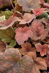 Pumpkin Spice Foamy Bells (Heucherella 'Pumpkin Spice') at Green Acre Farm & Nursery