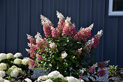 Pinky Winky® Hydrangea (Hydrangea paniculata 'DVPPINKY') at Green Acre Farm & Nursery