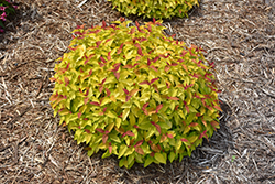 Double Play® Candy Corn® Spirea (Spiraea japonica 'NCSX1') at Green Acre Farm & Nursery