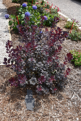 Winecraft Black® Smokebush (Cotinus coggygria 'NCCO1') at Green Acre Farm & Nursery