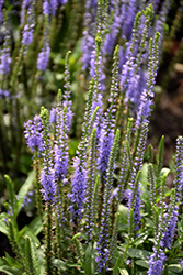 Blue Skywalker Speedwell (Veronica 'Blue Skywalker') at Green Acre Farm & Nursery