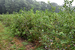 Bluecrop Blueberry (Vaccinium corymbosum 'Bluecrop') at Green Acre Farm & Nursery