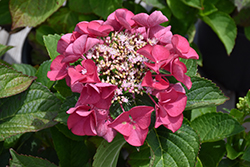 Cherry Explosion™ Hydrangea (Hydrangea macrophylla 'McKay') at Green Acre Farm & Nursery