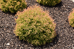 Fire Chief™ Arborvitae (Thuja occidentalis 'Congabe') at Green Acre Farm & Nursery