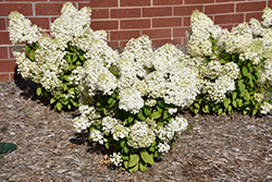 Bobo® Hydrangea (Hydrangea paniculata 'ILVOBO') at Green Acre Farm & Nursery