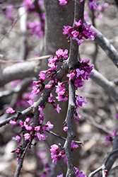 Ruby Falls Redbud (Cercis canadensis 'Ruby Falls') at Green Acre Farm & Nursery