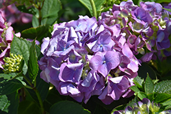 L.A. Dreamin'® Hydrangea (Hydrangea macrophylla 'Lindsey Ann') at Green Acre Farm & Nursery
