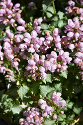 Pink Pewter Spotted Dead Nettle (Lamium maculatum 'Pink Pewter') at Green Acre Farm & Nursery