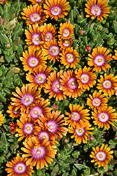 Fire Spinner Ice Plant (Delosperma 'Fire Spinner') at Green Acre Farm & Nursery