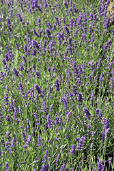 Big Time Blue Lavender (Lavandula angustifolia 'Armtipp01') at Green Acre Farm & Nursery