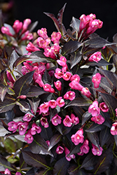 Spilled Wine® Weigela (Weigela florida 'Bokraspiwi') at Green Acre Farm & Nursery