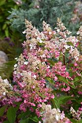 Pinky Winky 174 Hydrangea Tree Form Hydrangea Paniculata